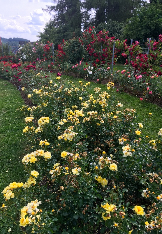 Rosenblühen